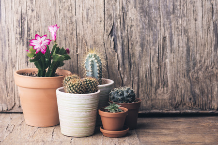 Various cactus and succulent plant in clay pot on vintage wooden