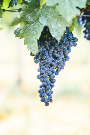 Closeup of fresh purple grape on branch in vineyard. Grapevine growing and wine production on countryside farm.