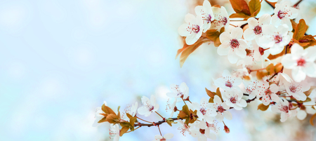 Spring flower blossom closeup with bokeh background. Springtime nature scene with cherry blossom tree in japanese garden and sunlight. Easter holiday seasonal scenery. Pure soft pastel backdrop design. Banco de Imagens