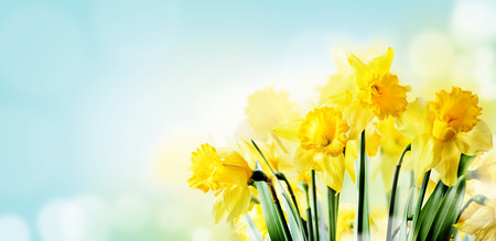 Closeup of beautiful spring daffodil bunch in garden with sunlight and bokeh sky background. Springtime yellow narcissus flower in sunny filed. Nature landscape design wallpaper. April easter holiday layout banner. Stock Photo