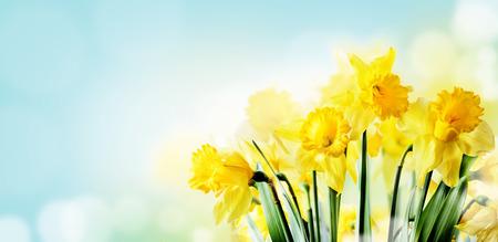 Primo piano della bella primavera daffodil mazzo in giardino con la luce del sole e bokeh sfondo cielo. Il fiore giallo del narciso di primavera in soleggiato ha archiviato. Carta da parati di progettazione del paesaggio della natura. Banner di layout per le vacanze di Pasqua di aprile. Archivio Fotografico