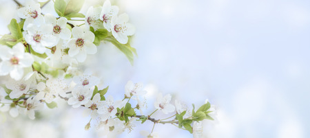 Spring flower blossom closeup with bokeh background. Springtime nature scene with cherry blossom tree in japanese garden and sunlight. Easter holiday seasonal scenery. Pure soft pastel backdrop design. Reklamní fotografie