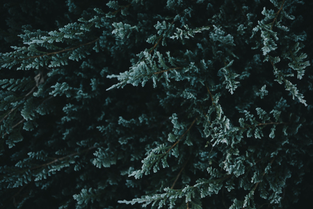 Dark green nature background from above. Top view of coniferous tree branch. Creative ecology textured pattern layout. Abstract plant wallpaper.