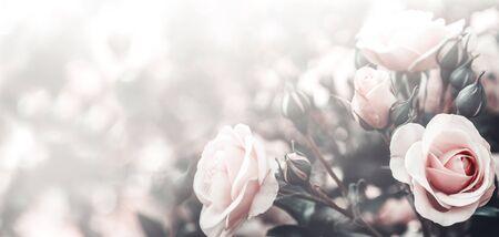Fine art image of beautiful pastel roses in garden. Valentine and bridal vintage card design. Light floral background.