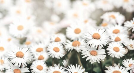 Closeup of daisy flowers in grass with sunlight. Macro chamomile field background. Vintage filter. Spring nature wallpaper banner design.