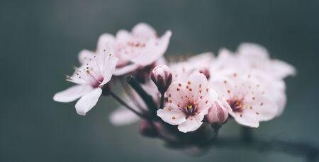 Closeup of spring blossom flower on dark bokeh background. Macro cherry blossom tree branch. Blooming springtime orchard landscape scene. Beautiful easter wallpaper design.