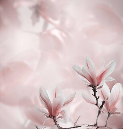Closeup of blooming magnolia tree in spring on pastel bokeh Banco de Imagens