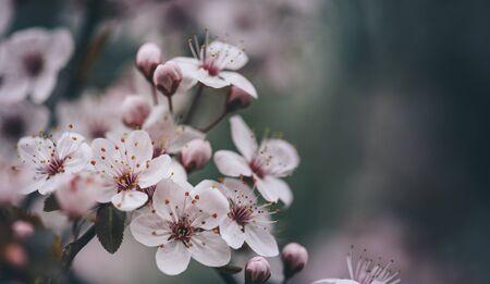 Closeup of spring blossom flower on dark bokeh
