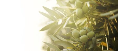 Closeup of olive fruit on tree branch.