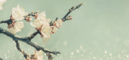 Closeup of spring blossom on brunch over retro blue sky. Springtime orchard blooming tree. April asian garden wallpaper. Banco de Imagens