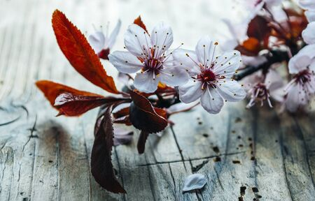 Beautiful cherry blossom branch on vintage wooden table. Closeup spring flower in bloom on rustic background. Easter and springtime still life. Art floral wallpaper.