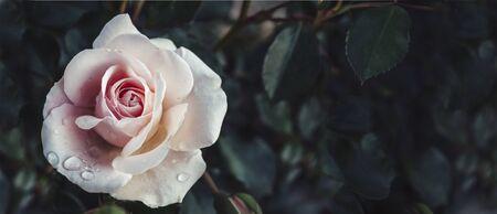Fine art image of beautiful pastel roses in dark garden. Valentine and bridal vintage card design. Artistic floral bouquet wallpaper background.