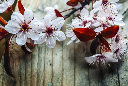 Beautiful cherry blossom branch on vintage wooden table. Closeup spring flower in bloom on rustic background. Easter and springtime still life. Art floral frame design.