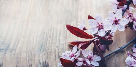 Beautiful cherry blossom branch on vintage wooden table with copyspace. Closeup spring flower in bloom frame on rustic background. Easter and springtime design banner. Art floral border.