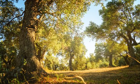 Mediterranean olive trees in garden. Olive farm grow background.
