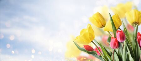 Closeup of tulip bouquet in garden with bokeh background. Creative spring flower bud frame. Easter, mother's day and seasonal holiday spring banner. Springtime gardening.