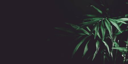Abstract nature background with green palm leaf. Dark tropic foliage border on black backdrop. Creative eco design banner. Banco de Imagens