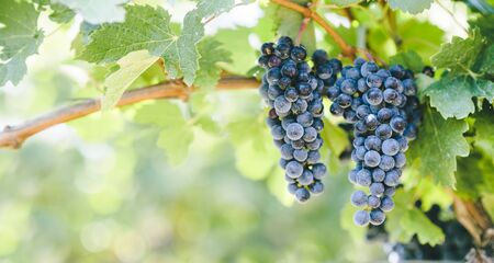Closeup of blue grape in vineyard with sunlight. Winery and grapevine growing background frame. Grape growing and wine making design banner. Banco de Imagens