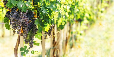 Closeup of blue grape in vineyard with sunlight. Winery and grapevine growing background frame. Grape growing and wine making design banner. 版權商用圖片