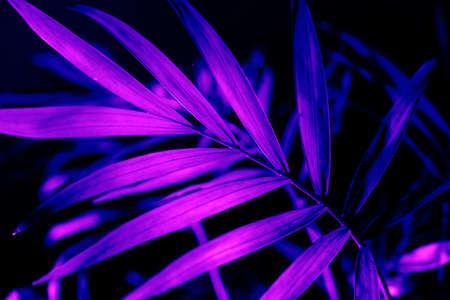 Closeup of neon light palm leaf on dark background. Purple exotic jungle foliage layout. Nightlife vibrant floral texture wallpaper. Фото со стока