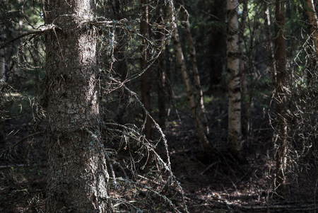 A forest with an old, dry tree with bark, moss and sunlight Stock Photo