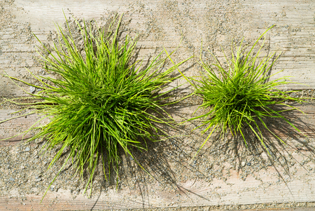 Top view of vibrant green grass in sunshine growing between wooden planks with sand and pepples around Banque d'images