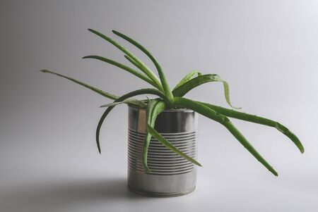 Simple vintage green aloe vera succulent plant in an alternative reused tin can hipster flowerpot on white background