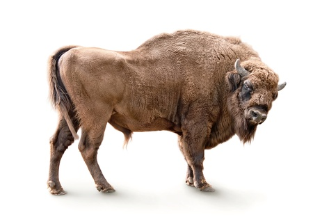 hoofed: european bison isolated on white background Stock Photo