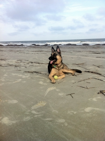3 year old: 3 year old German shepherd timberwolf mix.
