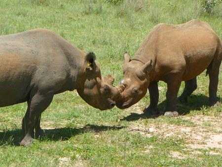 food fight: Black Rhino starting to fight over food