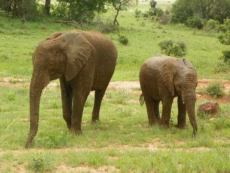 zimbabue: Los elefantes de Zimbabwe Foto de archivo