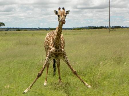 zimbabwe: Giraffe getting down for food in Zimbabwe