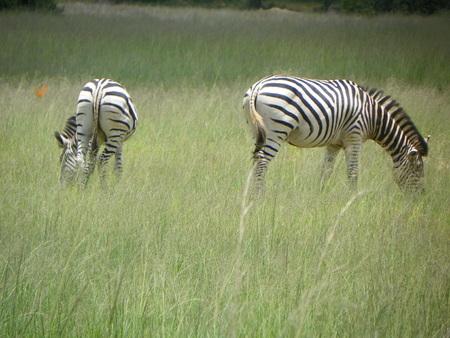 zimbabwe: Zebra en Zimbabwe