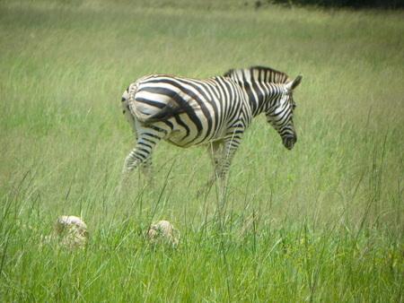 zimbabwe: Zebra in Zimbabwe