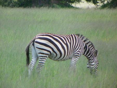 zimbabue: Zebra en Zimbabwe
