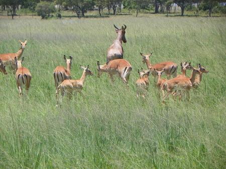 zimbabwe: Impala en Zimbabwe Foto de archivo