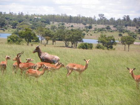 zimbabue: Impala en Zimbabwe Foto de archivo
