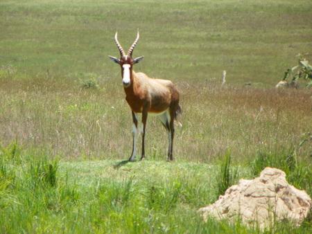 zimbabwe: Sable Antelope en Zimbabwe Foto de archivo