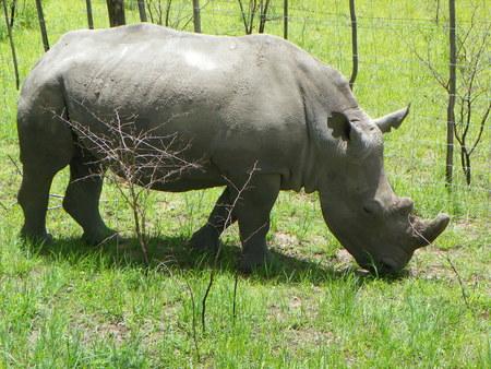 zimbabwe: Rinoceronte blanco de pastoreo en Zimbabwe