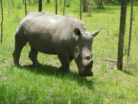 zimbabwe: White Rhino en Zimbabwe