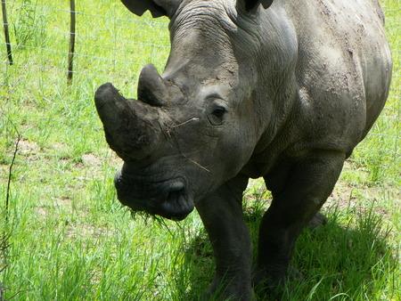 zimbabue: White Rhino Up Close en Zimbabwe