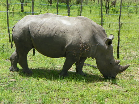 zimbabue: White Rhino en Zimbabwe
