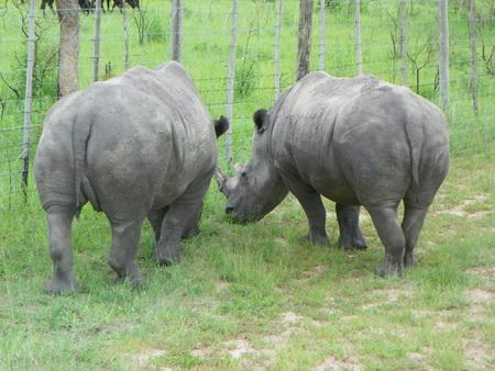 zimbabwe: White Rhino in Zimbabwe Stock Photo