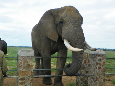 the game reserve: Elephant on game reserve in Zimbabwe
