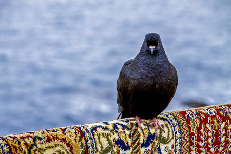 pigeon resting on an Indian rug photo