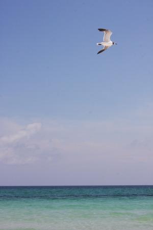 pensacola beach: Pensacola Beach Seagull with Ocean