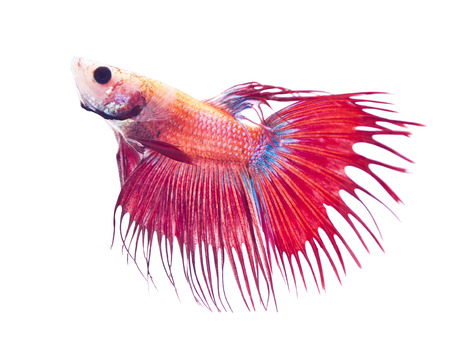 crowd tail: Red Crowntail Siamese fighting fish or Betta