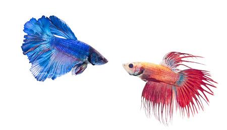betta splendens: two types of fighting fish