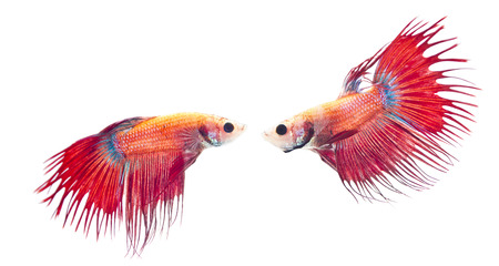 Two Red Crowntail was going to fight. Banco de Imagens