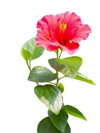 hibiscus flowers: rosso Hibiscus, fiore tropicale isolato su sfondo bianco. Archivio Fotografico